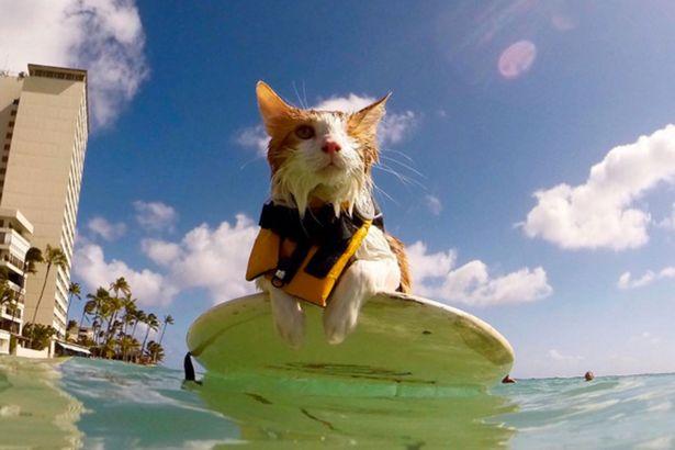 Kuli o gato surfista